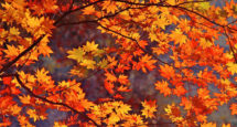 Fall Leaves Wallpapers